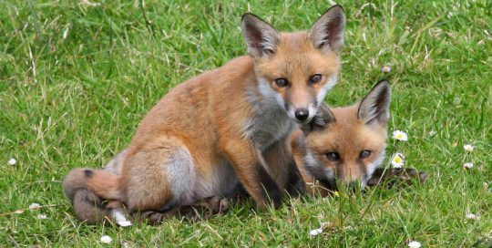 Red_Fox_(Vulpes_vulpes)_(11)